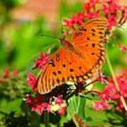 Butterfly On Pentas Poster