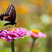 Butterfly On Pink Zinnia Poster