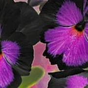 Butterfly Pansies Poster