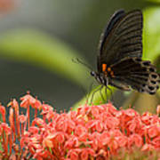 Butterfly Papilio Memnon Feeding Poster
