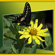 Butterfly Swallowtail 01 16 By 20 Poster