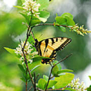 Butterfly Tiger Swallow Poster