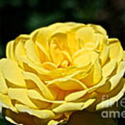 Buttery Rose Poster
