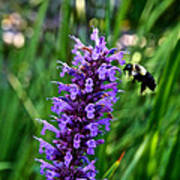 Buzzing Hyssop Poster