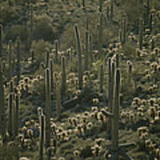 Cacti Near Tucson, Arizona Poster