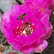 Cactus Flower Buzz Poster