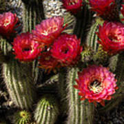 Cactus With Red Flowers Poster