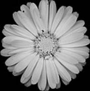 Calendula Flower - Black And White Poster