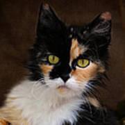 Calico Cat Portrait Poster