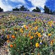 California Poppies And Lupins On A Hill Poster