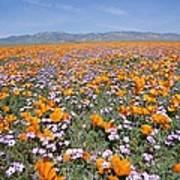 California Poppies And Other Poster