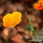 California Poppy Poster