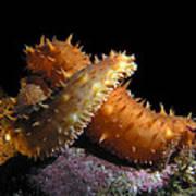 California Sea Cucumber Love Poster