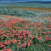 Californian Poppies (eschscholzia) Poster