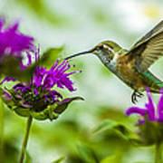 Calliope Hummingbird At Bee Balm Poster