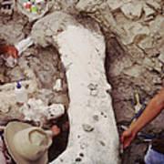Camarasaurus Femur Covered In Burlap Poster