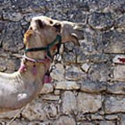 Camel At Sebastia Poster