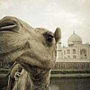 Camel In Front Of The Yamuna River And Poster