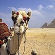 Camel In Giza Egypt Poster