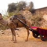 Camel Yoked To A Decorated Cart Meant For Carrying Passengers In India Poster