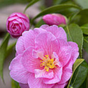 Camellia Camellia X Williamsii Donation Poster