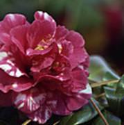 Camellia Twenty-one  Poster