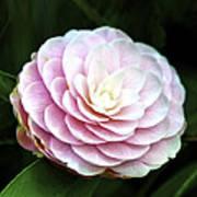 Camellia Twenty-two  Poster