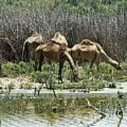 Camels At The Water Poster
