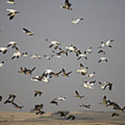 Canada Geese And White Geese Migration Poster