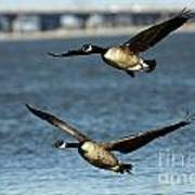 Canada Geese Coming In For A Landing Poster