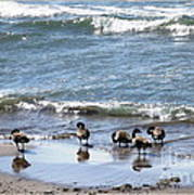 Canada Geese In Lake Erie Poster