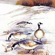 Canada Geese In Stubble Field Poster