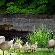 Canada Geese With Goslings Poster