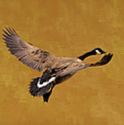 Canada Goose In Landing Approach  - C4557b Poster by Paul Lyndon Phillips