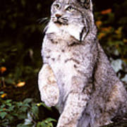Canada Lynx With Paw Up   Poster