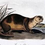 Canada Otter, 1846 Poster