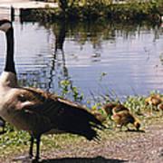 Canadian Geese At Trojan Lake Ny Poster