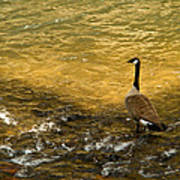 Canadian Goose In Golden Sunlight Poster