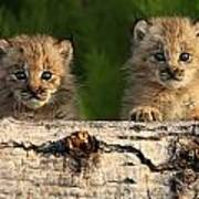Canadian Lynx Kittens Looking Poster