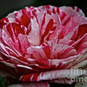 Candy Cane Rose Poster