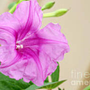 Candy Pink Morning Glory Flower Poster