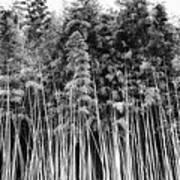 Canes At Canebrake Poster