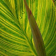 Canna Leaf Poster by Peg Toliver