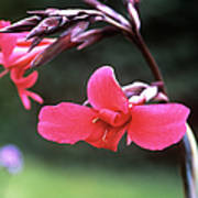Canna Lily (canna X Ehemanii) Poster by Adrian Thomas
