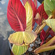 Canna Lily Fall Colors Poster