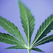 Cannabis Leaf Poster