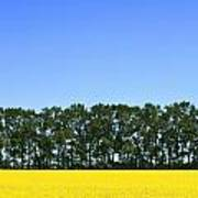 Canola Field And Trees Poster