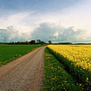Canola-rapeseed Flowers Poster