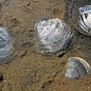 Cape Cod Clam Shells Poster