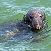 Cape Cod Harbor Seal Poster by Juergen Roth